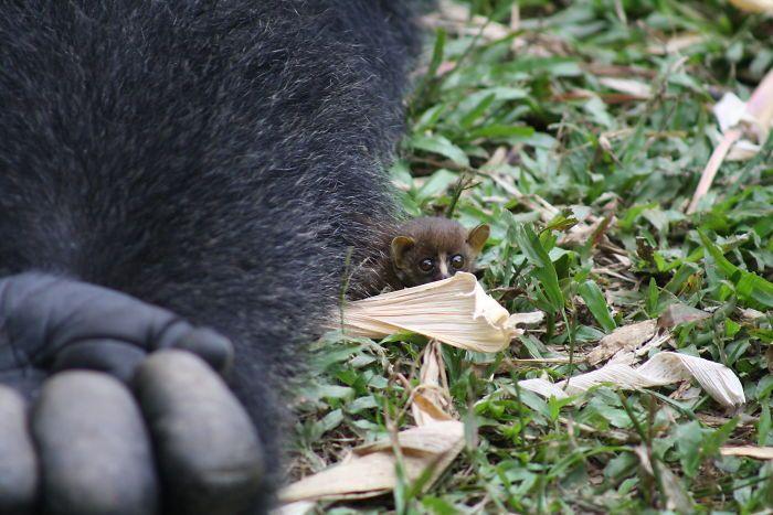 Ce gorille de 24 ans a rencontré une petite créature dans la forêt, et sa réaction est trop marrante