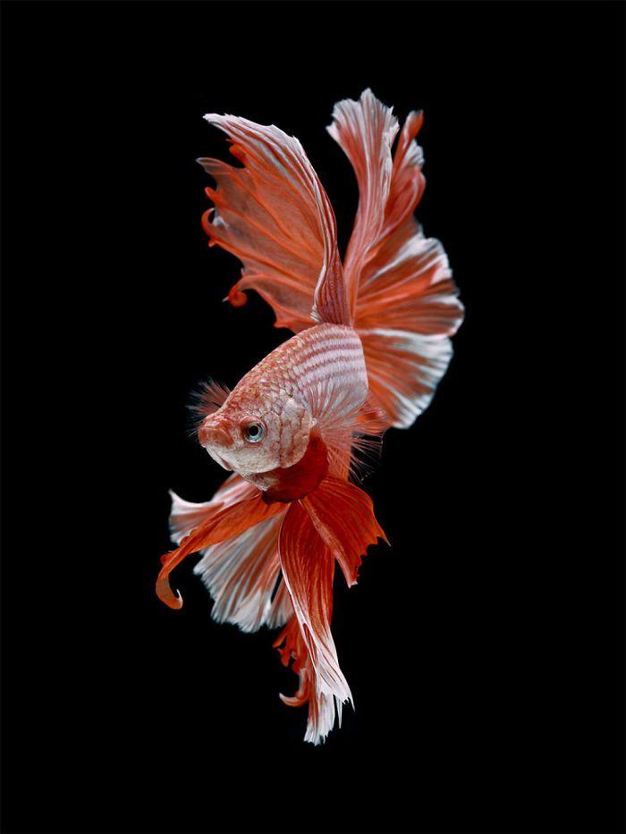 Ce photographe thaïlandais saisit la beauté des poissons d'aquarium comme nul autre (30 images)