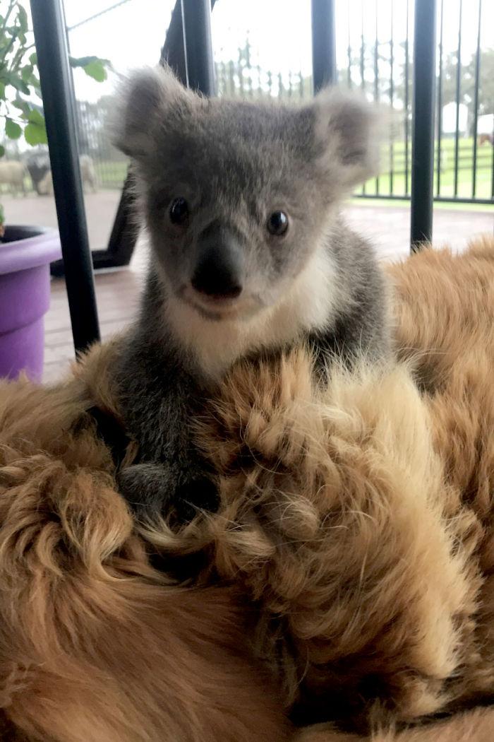 Ce golden retriever a surpris sa propriétaire avec un bébé koala qu'il venait juste de sauver d'une mort certaine