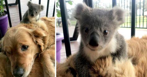 Ce bébé koala n'a peut-être pas l'air réel, mais regardez ce qu'il fait pour la caméra