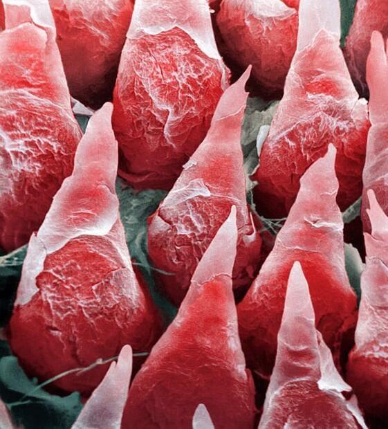Voici à quoi ressemblent nos organes au microscope