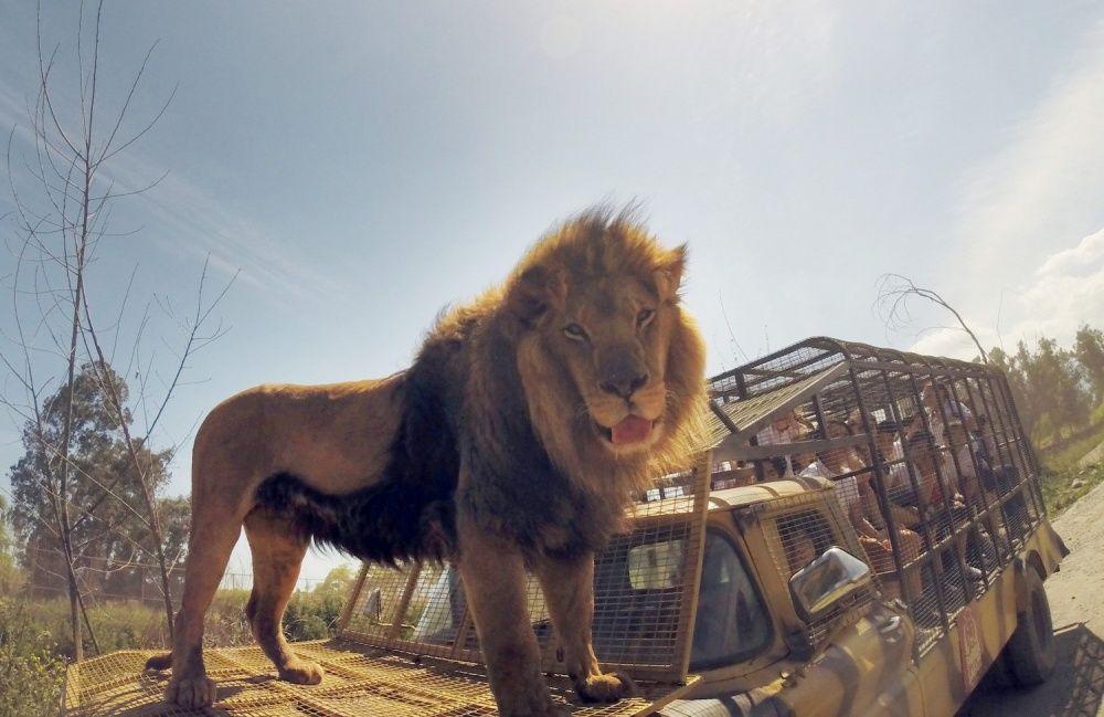 Pas pour les âmes sensibles: un zoo inversé où les gens sont dans des cages et où les animaux sont libres
