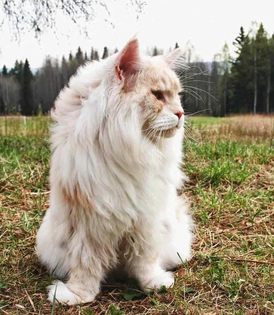 Cette propriétaire de chat a partagé de splendides photos de son maine coon et c'est fou comme il est énorme (24 photos)