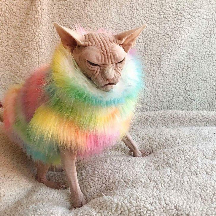 30 raisons pour lesquelles les sphynx sont les chats les plus cool