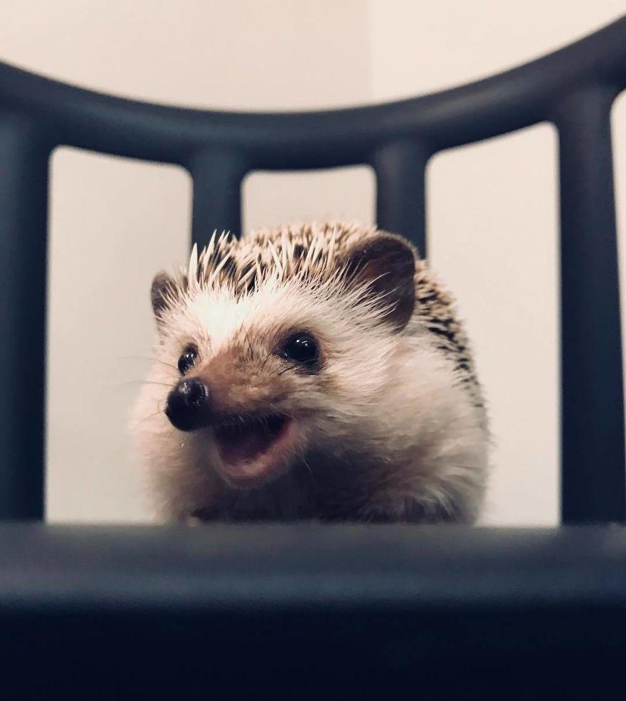 Quand on a adopté ce hérisson, on pensait qu'il nous détestait, mais maintenant il n'arrête plus de sourire (33 photos)
