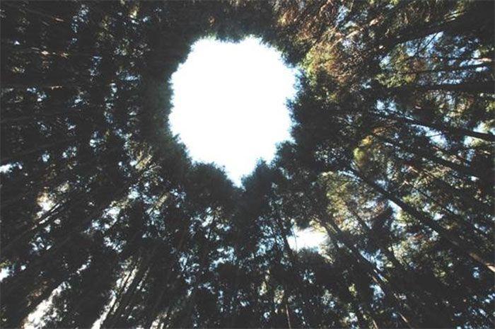 Une expérience japonaise qui a duré un demi-siècle s'est terminée par des «agroglyphes» d'arbres spectaculaires
