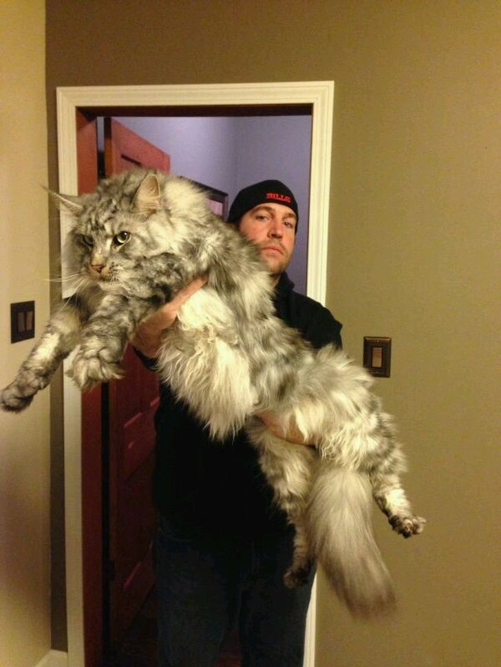 21 chats maine coon qui vont vous montrer qui est le patron