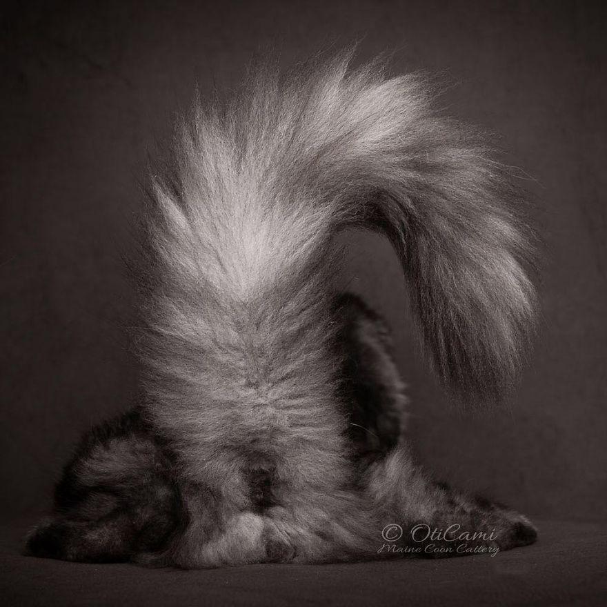 Ce photographe présente la beauté majestueuse des Maine coons (33 nouvelles photos)
