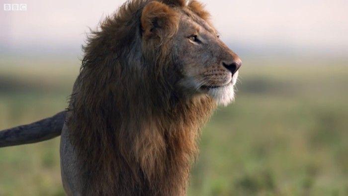 Un lion perdait son combat contre 20 hyènes, mais son ami a entendu ses pleurs et s'est précipité pour le sauver