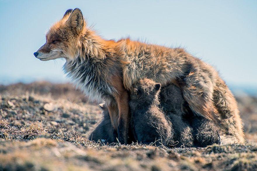 Un mineur russe passe son temps libre à photographier des renards dans le cercle arctique (26 photos)