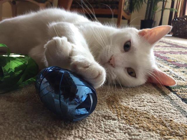 Ce chat «aveugle» a dévoilé la beauté exceptionnelle de ses yeux lorsqu'il les a enfin ouverts