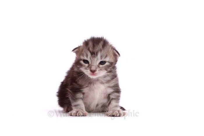 Ce time-lapse présente un chaton maine coon devenant un magnifique chat en seulement 20 secondes