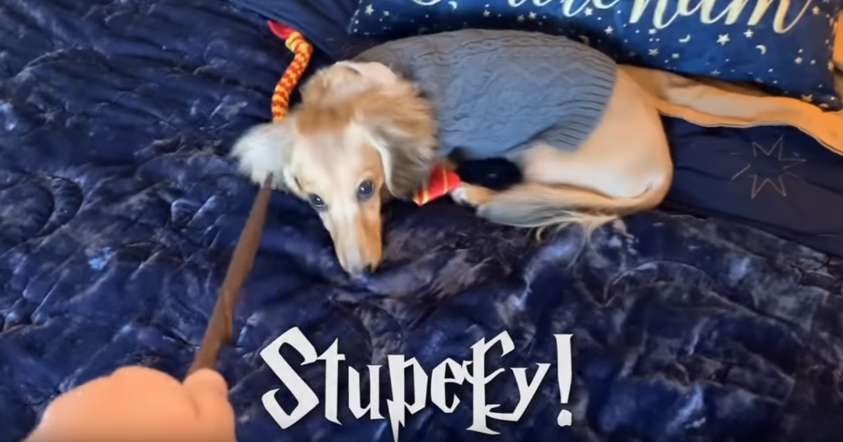Ce chien a été entraîné pour réagir aux sorts de Harry Potter et c'est probablement l'étudiant le plus mignon de Poudlard