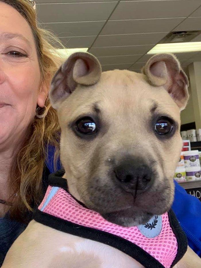 Des gens ont sauvé un pitbull et ont remarqué qu'il avait des oreilles en forme de brioche à la cannelle