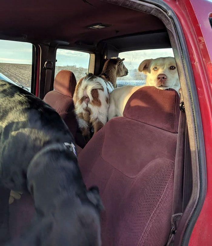 Un propriétaire de labrador n'en croyait pas ses yeux quand il a retrouvé son chien disparu dans un champ avec deux «amis» insolites
