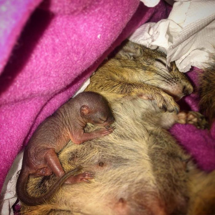 Cet écureuil sauvage a fait un nid pour son bébé dans le tiroir de sa sauveuse et il est trop mignon