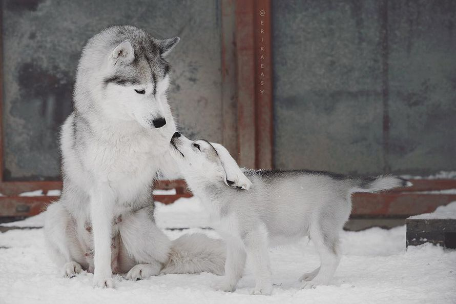 Cette photographe prend des clichés époustouflants de ses huskies et le résultat est si mignon que vous en voudrez un aussi (26 photos)