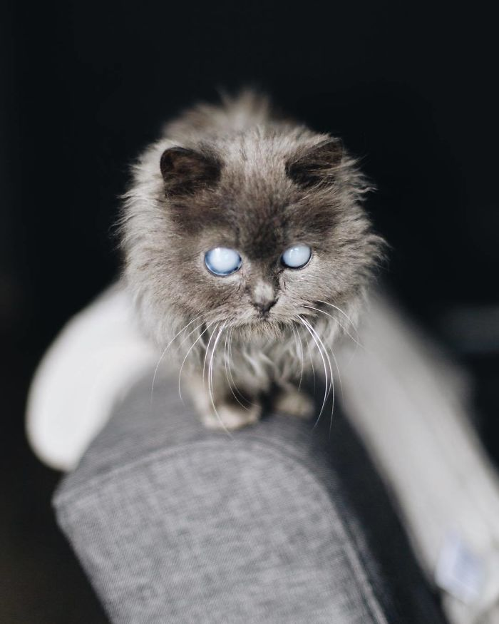 Voici Merlin, un chat de 2 ans de la taille d'une bouteille d'eau qui a conquis le coeur des internautes à cause de sa beauté pure