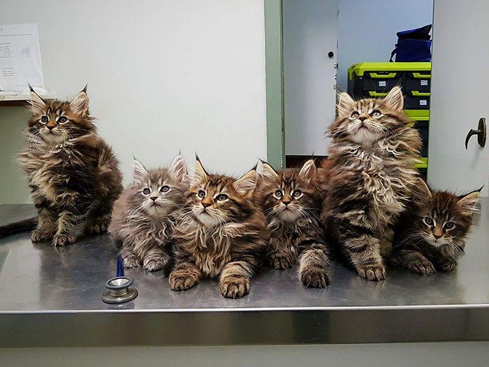 33 chatons Maine coon les plus mignons de tous les temps