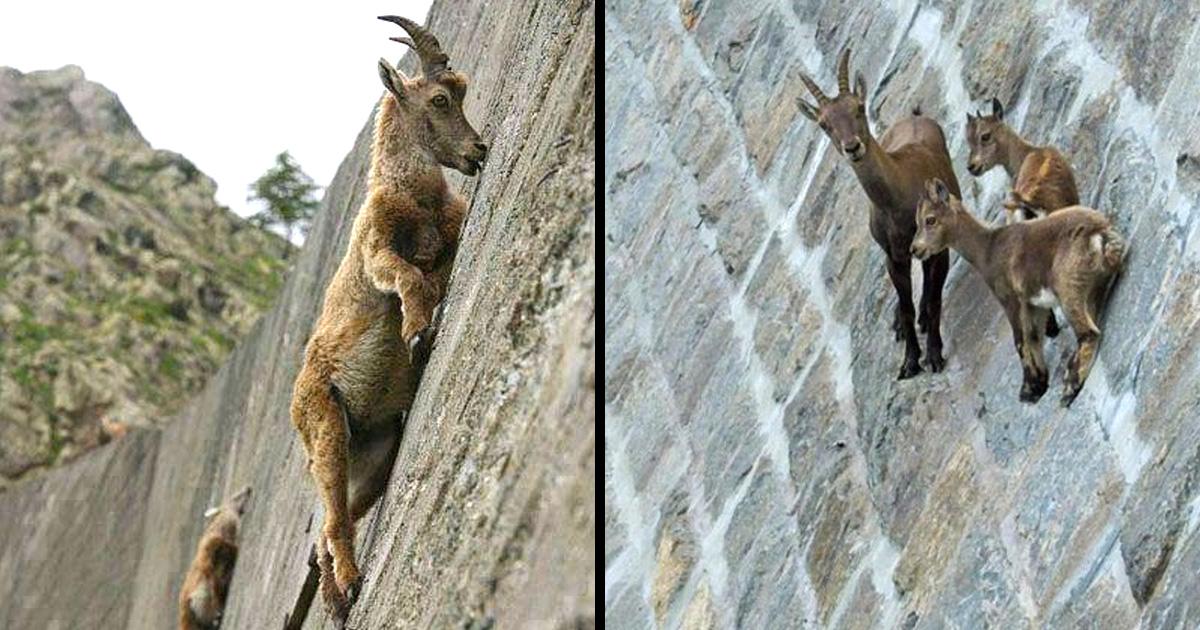 22 photos surprenantes qui prouvent que les chèvres peuvent grimper partout