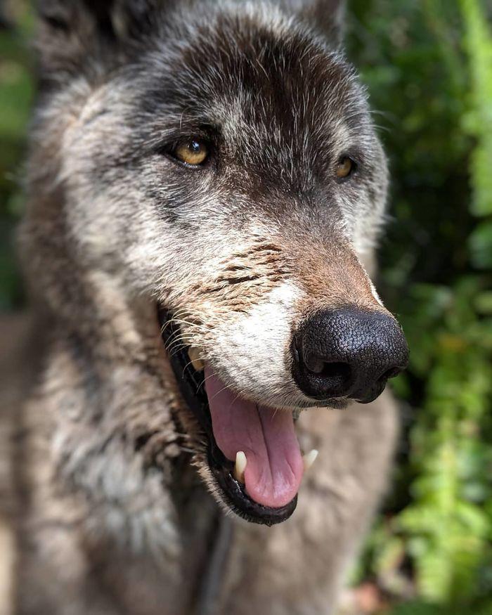 Un propriétaire a abandonné son chien-loup dans un refuge qui euthanasie les animaux lorsqu'il est devenu trop difficile à gérer, mais heureusement, ce sanctuaire l'a sauvé