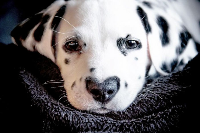 Ce dalmatien est un vrai bourreau des coeurs et il est facile de comprendre pourquoi