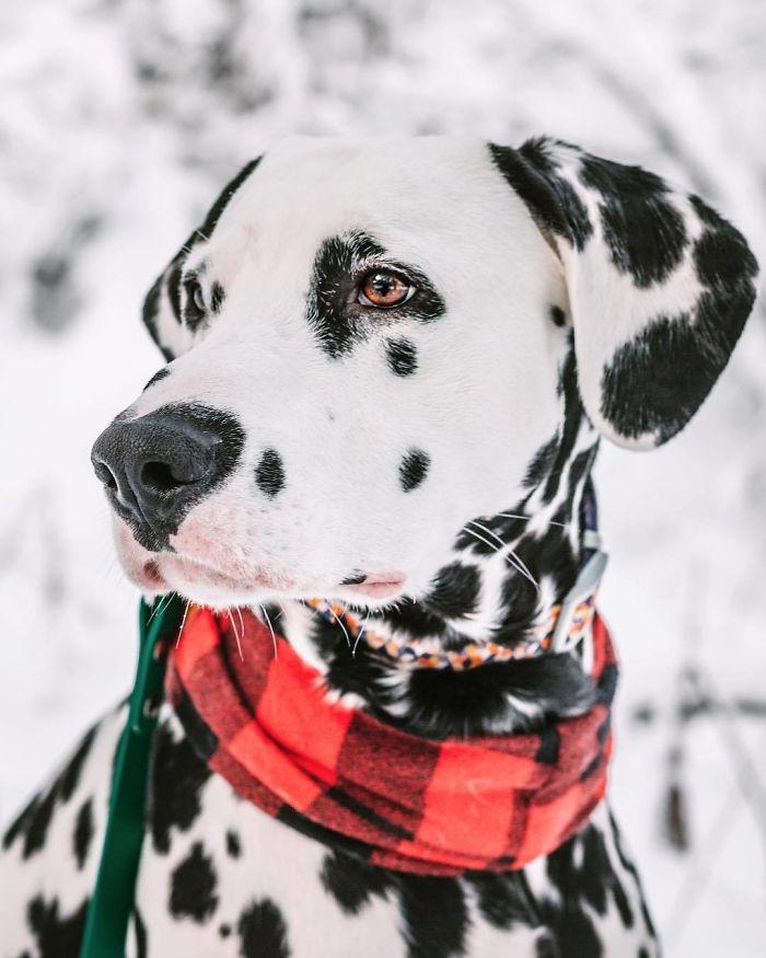 Ce dalmatien a le coeur sur le nez et les gens en sont amoureux (27 images)