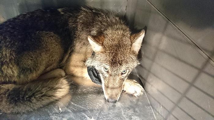 Deux travailleurs ont sauvé un «chien» d'un lac glacé et l'ont emmené dans un refuge sans savoir que c'était un loup