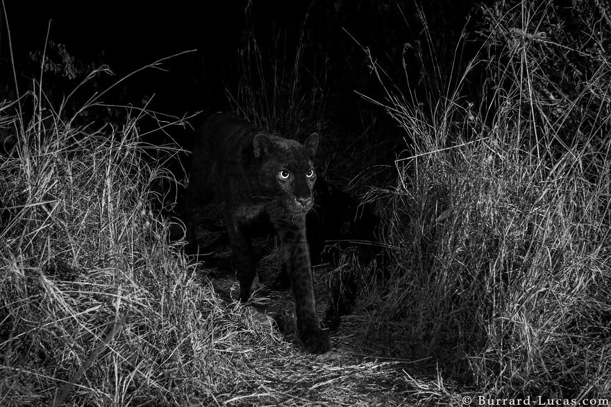 Un rare léopard noir a été photographié pour la première fois en 100 ans en Afrique