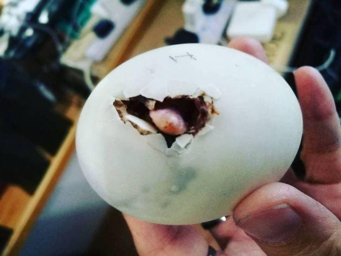 Une femme a acheté un oeuf balut dans un restaurant et le caneton éclos est devenu son meilleur ami