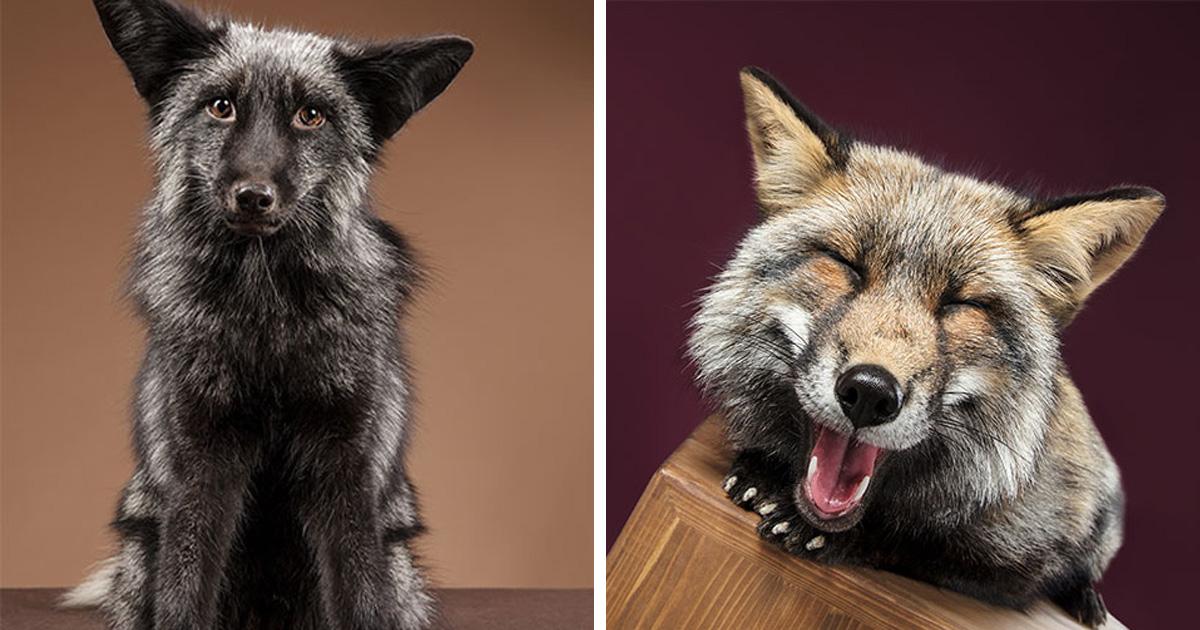 J'ai photographié des renards dans mon studio et je suis tombé amoureux de leurs personnalités
