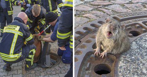Les gens sont incapables d'arrêter de rire d'un rat obèse coincé dans une bouche d'égout qui a dû être sauvé par des pompiers