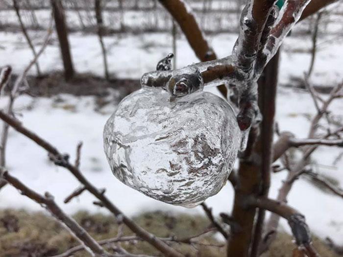 Ce fermier a été surpris de trouver des «pommes fantômes» dans les arbres après le vortex polaire