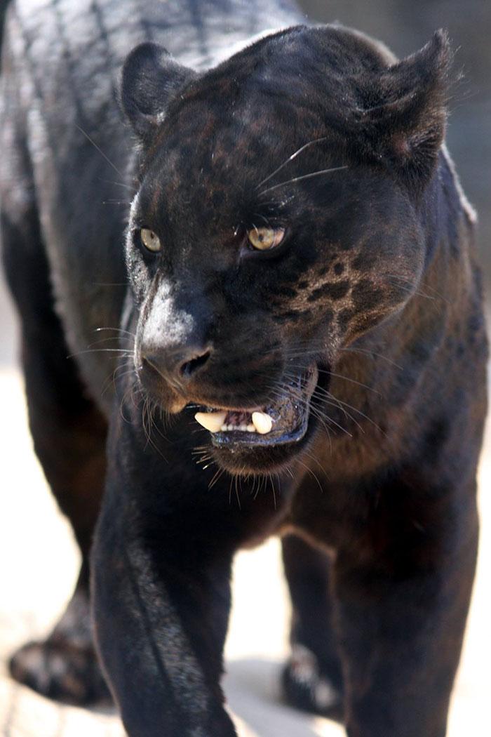 Le zoo confirme que le jaguar qui a attaqué une femme qui essayait de prendre un selfie avec lui ne sera pas abattu