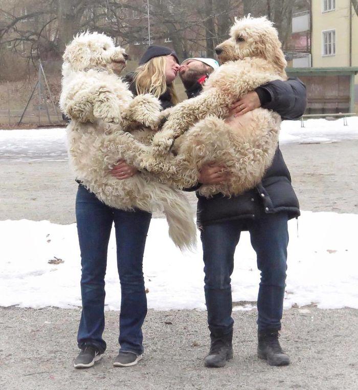 33 goldendoodles adorables qui prouvent qu'ils sont juste de gros nounours maladroits