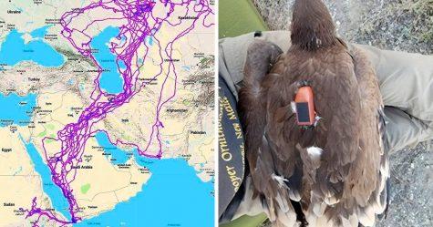 Cette carte montre tous les endroits qu'un aigle a visités en 20 ans et les gens se demandent pourquoi il est resté loin de la mer