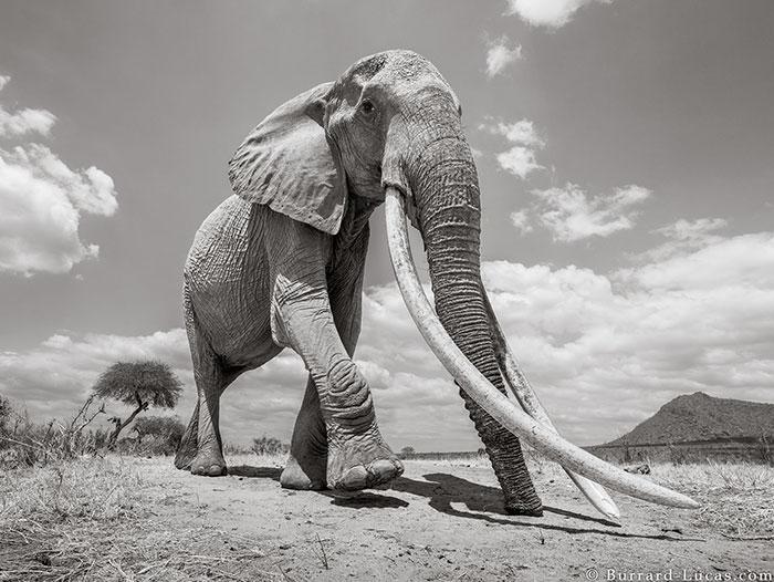 Les dernières photos de la légendaire «reine des éléphants» avant sa mort