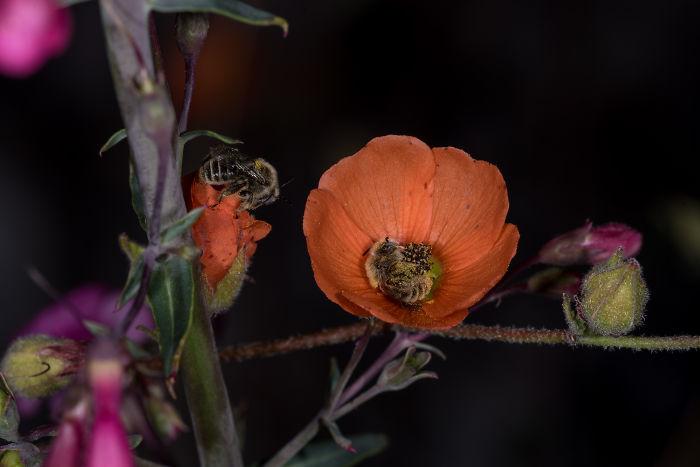 Il existe une espèce d'abeille qui dort dans les fleurs et c'est aussi mignon que ça en a l'air