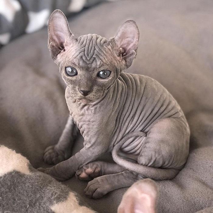 22 photos de chatons sphynx adorables pour faire changer d'avis tous ceux qui les détestent