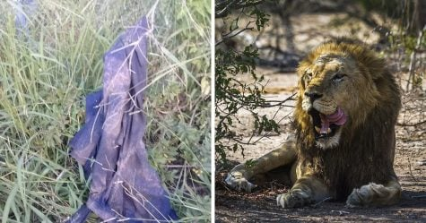Un braconnier a été tué par un éléphant et mangé par des lions