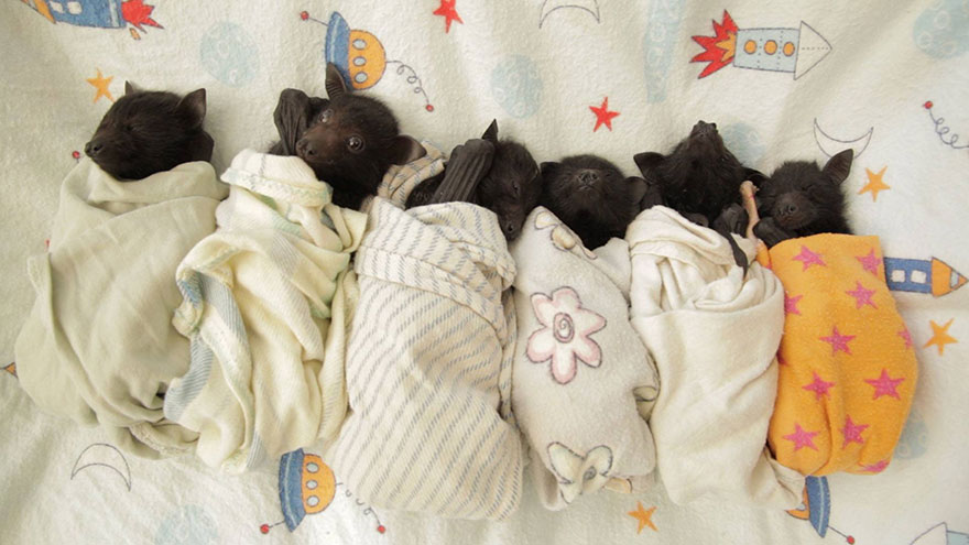 Les bébés chauves-souris orphelins de cet hôpital sont trop adorables (11 images)