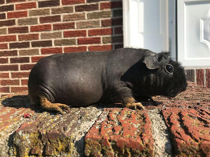 8 cochons d'Inde nus que vous pourriez prendre pour de minuscules hippopotames