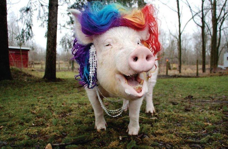 Un couple pensait avoir adopté un mini-cochon et l'a gardé comme animal de compagnie même lorsqu'il a grandi et a atteint 295 kilos