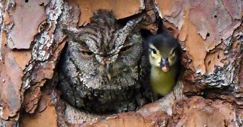 Ce petit canard a été élevé par un hibou et les photos sont adorables