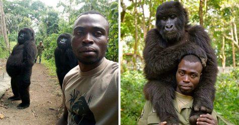 Des gorilles posent pour des selfies avec des rangers anti-braconnage au Congo
