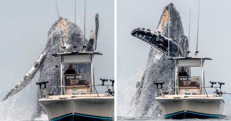 Cette vidéo virale montre une baleine géante qui saute à côté d'un pêcheur et lui coupe le souffle