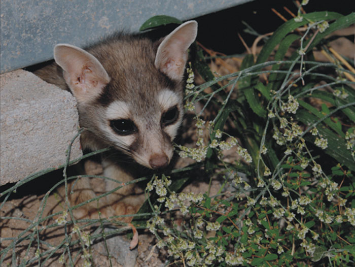 Ces chats des mineurs mignons sont originaires d'Amérique du Nord et font craquer les internautes (26 images)
