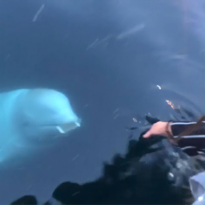 Un béluga amical a rendu à une femme le téléphone qu'elle avait accidentellement laissé tomber dans l'océan