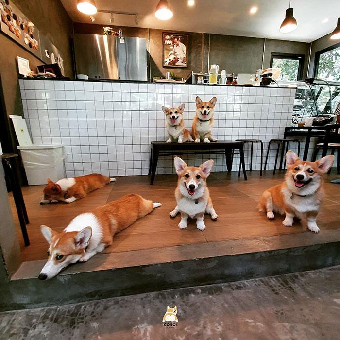 Une femme a ouvert un café avec des corgis après une portée de chiots inattendue et les photos sont trop mignonnes