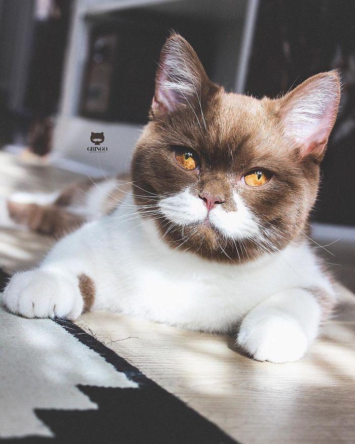 Voici Gringo, le chat qui porte une merveilleuse moustache blanche (22 images)